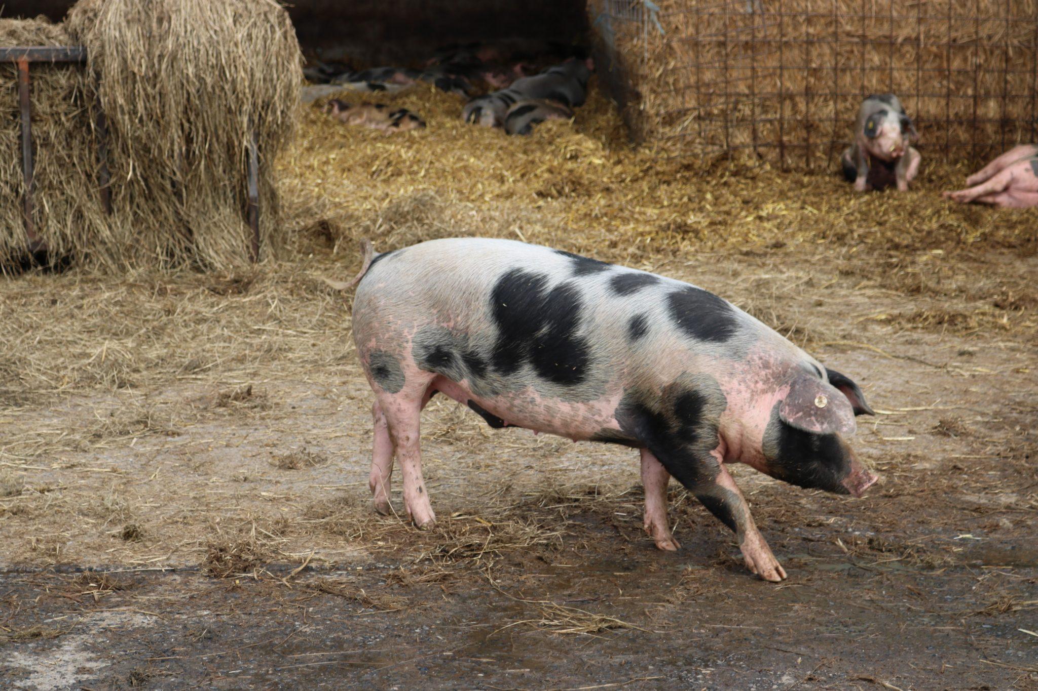 Bunten-Bentheimer-Schwein-Niedersachen