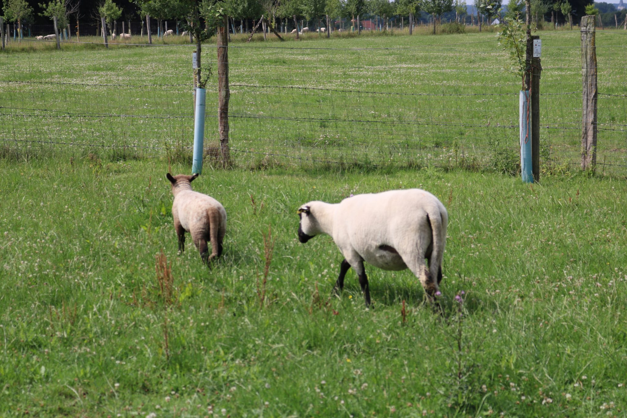 Blogger-auf-dem-Land-Schafe