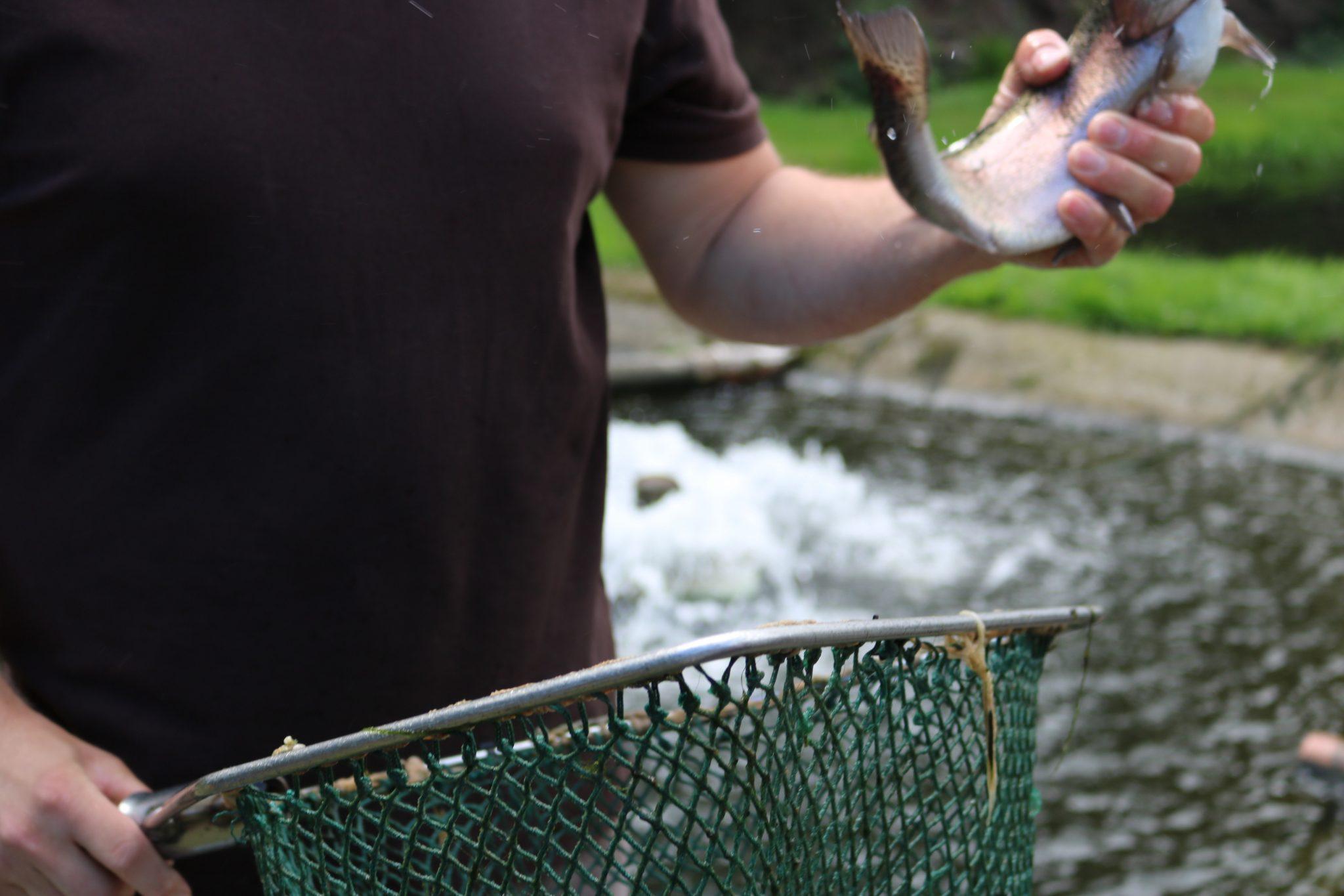Forellen-frisch-kaufen-zucht-bad-iburg
